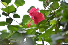 Free Pink Hibiscus Flower Stock Images - 114677484
