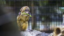 Free Photography Of A Baby Monkey Eating Vegetable Royalty Free Stock Photography - 114677517