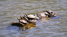 Free Photo Of Group Of Turtle On Water Royalty Free Stock Photography - 114677527