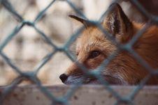 Free Close Up Photo Of Fox Royalty Free Stock Photo - 114677615