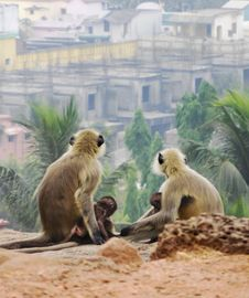 Free Four Monkeys Sitting On Soil Watching Houses And Palm Trees Stock Photos - 114677623