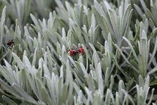 Free Firebugs Mating Stock Photography - 114677692