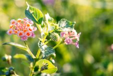 Free Lantana Flower Royalty Free Stock Image - 114677786