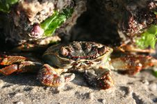 Free Hiding Crab Royalty Free Stock Photos - 11478508