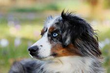 Free Dog, Dog Breed, Dog Like Mammal, Australian Shepherd Stock Photos - 114712233