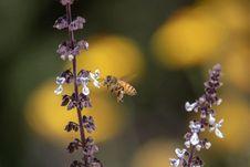 Free Honey Bee, Bee, Nectar, Insect Stock Photo - 114712320