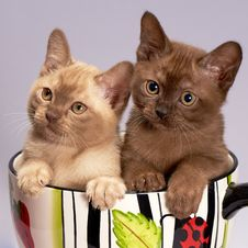 Free Cat, Small To Medium Sized Cats, Mammal, Burmese Stock Photos - 114712463