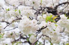 Free Blossom, Flower, Spring, Cherry Blossom Royalty Free Stock Images - 114712499
