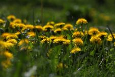Free Flower, Dandelion, Grass, Wildflower Stock Image - 114712631