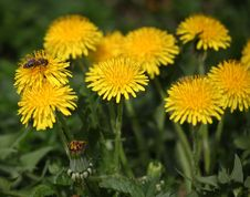 Free Flower, Sow Thistles, Dandelion, Nectar Royalty Free Stock Photography - 114712647