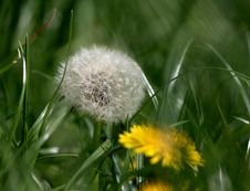 Free Flower, Dandelion, Flora, Grass Stock Photo - 114712680
