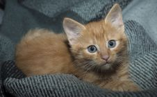 Free Cat, Whiskers, Mammal, Small To Medium Sized Cats Royalty Free Stock Photography - 114712727