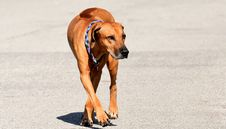 Free Dog, Dog Breed, Rhodesian Ridgeback, Dog Like Mammal Stock Photos - 114712733