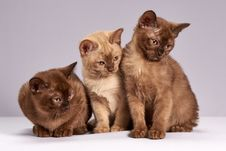 Free Cat, Burmese, Mammal, Small To Medium Sized Cats Royalty Free Stock Image - 114712756