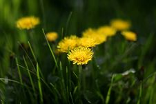Free Flower, Yellow, Dandelion, Grass Stock Photos - 114712783