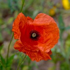 Free Flower, Wildflower, Poppy, Poppy Family Royalty Free Stock Photography - 114712947