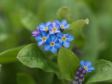 Free Flower, Blue, Forget Me Not, Plant Stock Images - 114713004