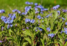Free Plant, Flower, Forget Me Not, Flowering Plant Royalty Free Stock Photography - 114713037
