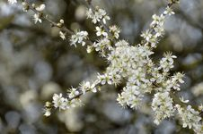 Free Branch, Blossom, Prunus Spinosa, Spring Royalty Free Stock Photos - 114713068