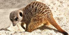 Free Meerkat, Mammal, Fauna, Terrestrial Animal Royalty Free Stock Photos - 114713588