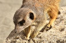 Free Meerkat, Mammal, Fauna, Viverridae Royalty Free Stock Photo - 114713685