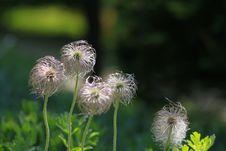 Free Flower, Plant, Dandelion, Flora Stock Image - 114713691