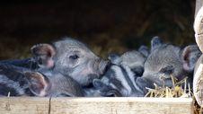 Free Mammal, Pig Like Mammal, Fauna, Pig Royalty Free Stock Photography - 114714007