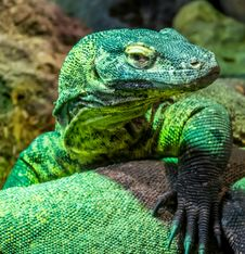 Free Reptile, Scaled Reptile, Green, Lacertidae Royalty Free Stock Photography - 114714067