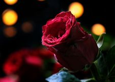 Free Red, Flower, Rose, Rose Family Stock Photography - 114714122