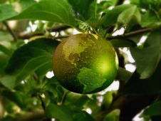 Free Fruit, Citrus, Fruit Tree, Calamondin Stock Photo - 114714330