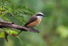 Free Bird, Fauna, Beak, Old World Flycatcher Stock Image - 114714431
