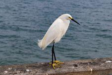 Free Bird, Great Egret, Egret, Beak Royalty Free Stock Images - 114714499