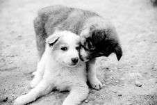 Free Grayscale Photography Of Two Puppies Royalty Free Stock Images - 114750929