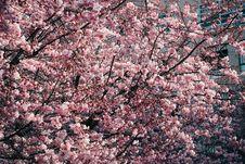 Free Cherry Blossom Trees Stock Photos - 114751063