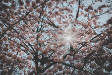 Free Cherry Blossom Tree Stock Images - 114751094