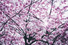 Free Pink Flowers Tree Royalty Free Stock Photos - 114751098