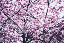 Free Cherry Blossom Tree Royalty Free Stock Image - 114751106