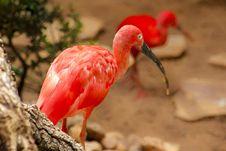 Free Scarlet Ibis Stock Photo - 114751130