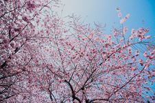 Free Pink Blossom Royalty Free Stock Images - 114751179