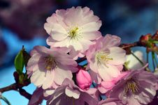 Free Flower, Blossom, Spring, Cherry Blossom Royalty Free Stock Photo - 114790205