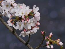 Free Blossom, Flower, Branch, Cherry Blossom Stock Images - 114790234