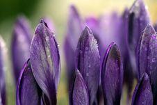 Free Flower, Violet, Purple, Crocus Stock Images - 114790374