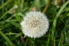 Free Dandelion, Flora, Flower, Grass Royalty Free Stock Photography - 114790407