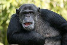 Free Chimpanzee, Common Chimpanzee, Great Ape, Mammal Royalty Free Stock Photo - 114790425
