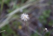Free Flora, Flower, Plant, Dandelion Stock Image - 114790631