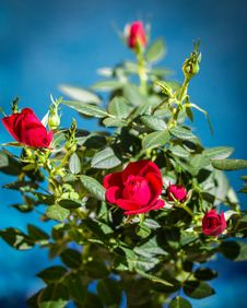 Free Flower, Rose Family, Rose, Flowering Plant Stock Photos - 114790643
