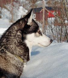 Free Siberian Husky, Dog Like Mammal, Dog, Sakhalin Husky Stock Photos - 114790773