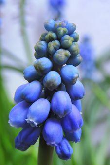 Free Flower, Plant, Hyacinth, Lupinus Mutabilis Royalty Free Stock Photos - 114790898