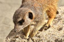 Free Meerkat, Mammal, Fauna, Viverridae Stock Image - 114790961