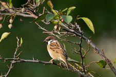 Free Bird, Sparrow, Branch, Beak Stock Photo - 114791000